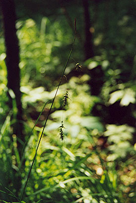 Carex sprengelii
