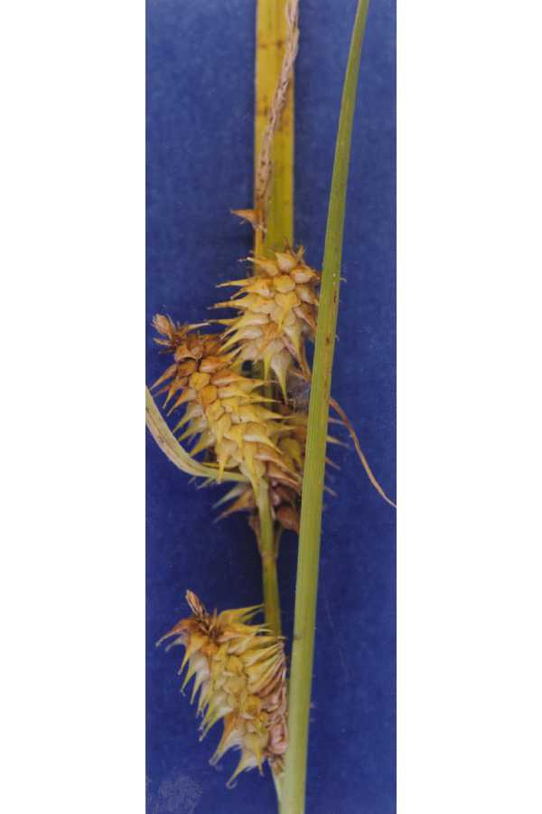 Carex retrorsa