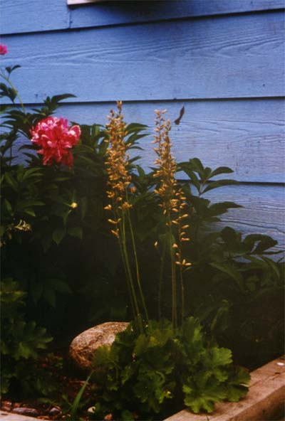 Heuchera richardsonii