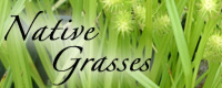 Shop for Native Prairie Grasses