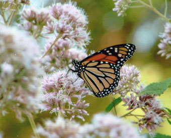 Minnesota Native Plants to Attract Butterflies