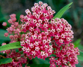 Asclepias incarnata - for attracting the Monarch butterfly