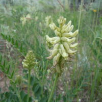 The creamy white flowers that nod by anthesis and that are arranged in a thick spike are characteristic of this species.