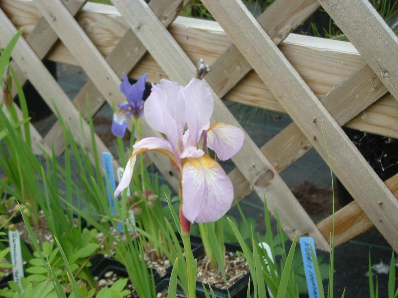 Iris prismatica morning sky greenery iris prismatica izmirmasajfo