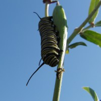 Monarch butterfly caterpillar on Red Milkweed
