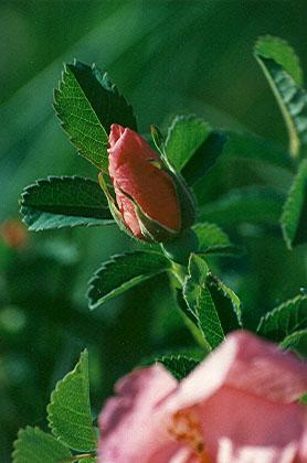 Rosa arkansana | Morning Sky Greenery Rosa Arkansana