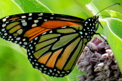 Native Plants to Attract Butterflies