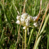 By Matt Lavin from Bozeman, Montana, USA (Allium textile erect head) [CC BY-SA 2.0 (http://creativecommons.org/licenses/by-sa/2.0)], via Wikimedia Commons